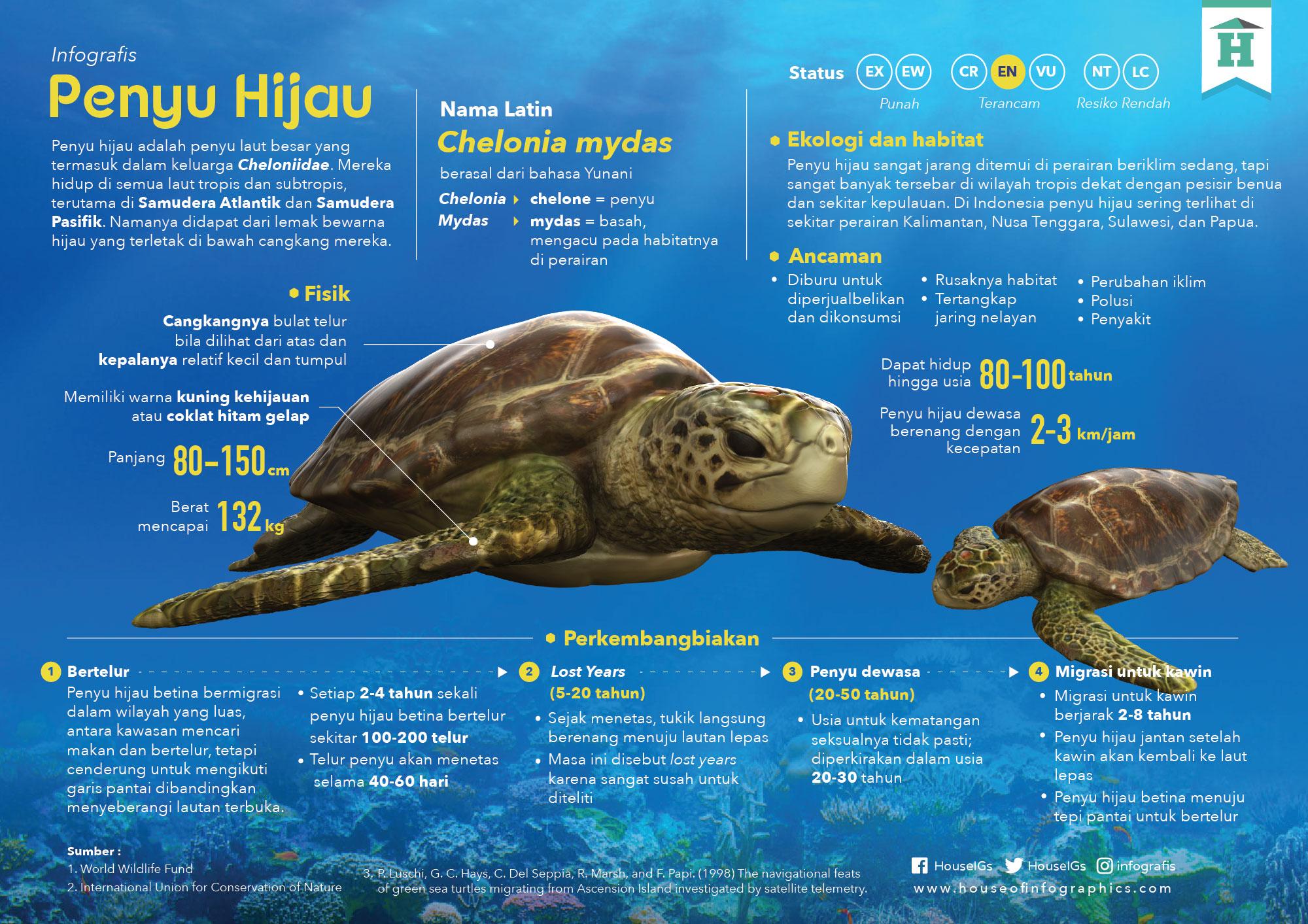 Infografis Penyu Hijau oleh House of Infographics